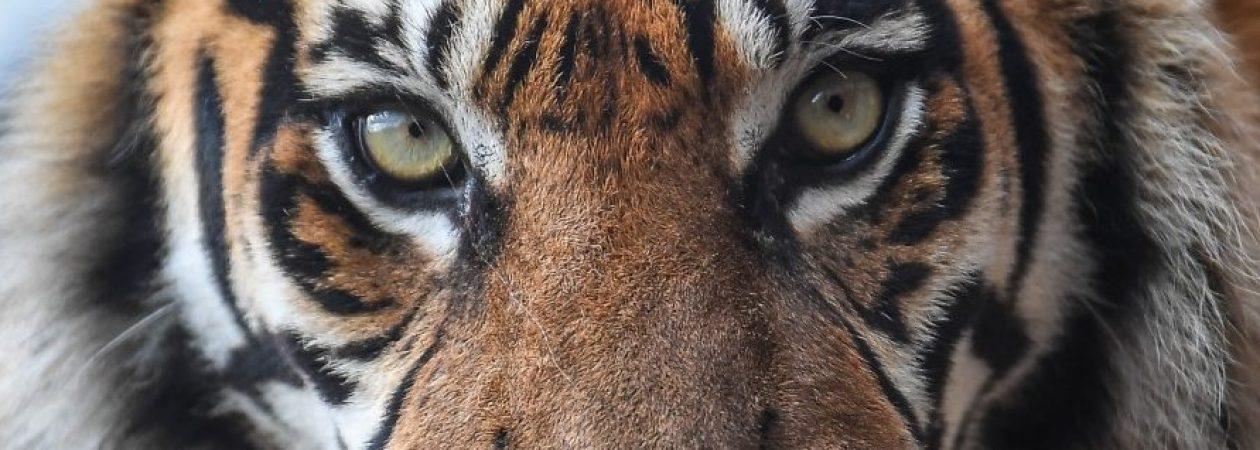 Sumatran tiger, Chester Zoo, Chester © Chester Zoo