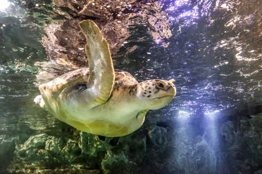 SEA LIFE Manchester - Ernie the Turtle